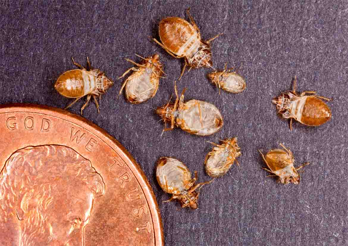 Bed Bug Size Scale