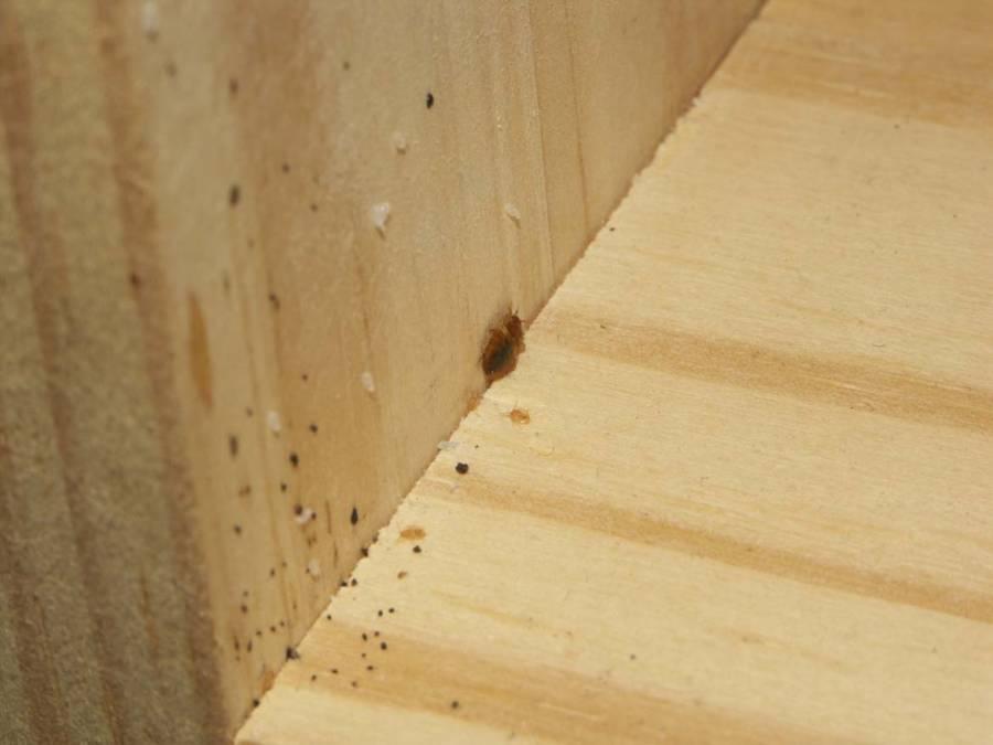 Bettwanzen | Holzfläche auf der sich eine Bettwanze samt weißlicher Larven und schwarzen Kotrückständen befindet.