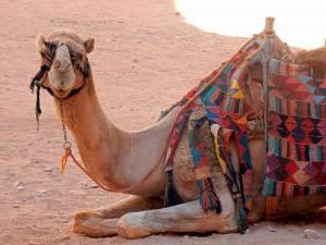 Jordanien | Kamele als Shuttel-Service in Petra. Nahaufnahme des Kopfes eines auf dem Boden knieenden mit bunten Decken behangenen Kamels
