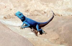 Jordanien | blauer Gecko in Petra