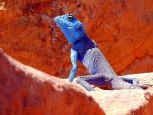 Petra Jordanien | Selten und einzigartig: blauer Gecko in der Felsenstadt Petra