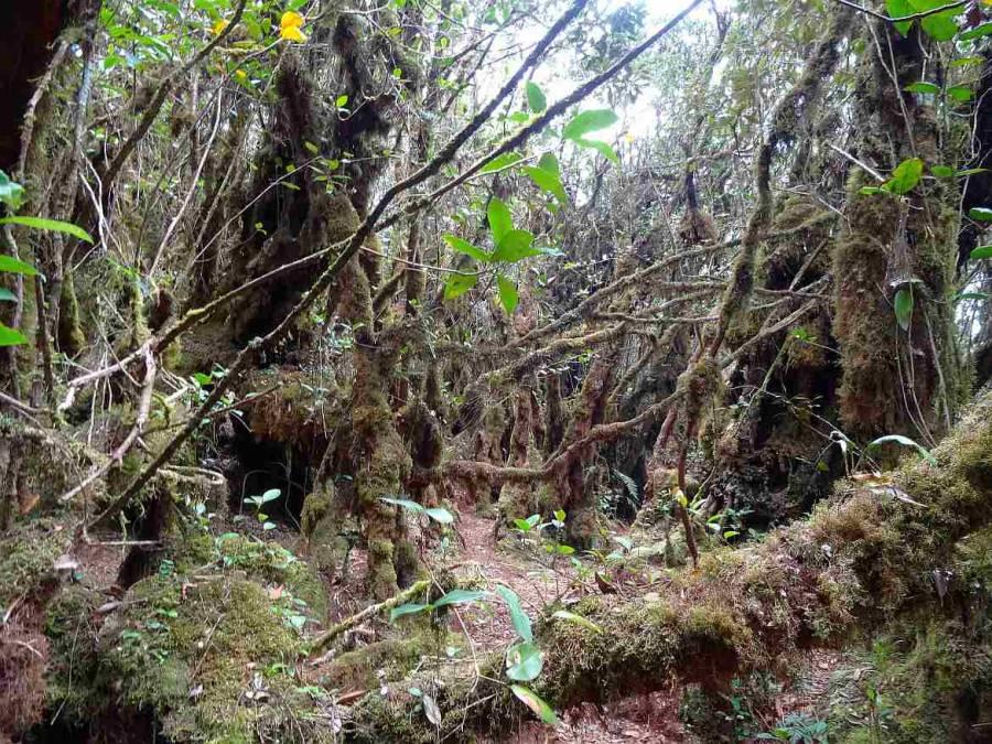 Malaysia | Mossy Forest, Cameron Highlands. Ein moosbewachsener Regenwald in der Hocheben