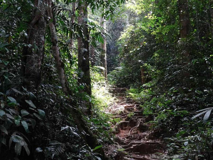 Malaysia | Aufstieg über Wurzeln durch den sattgrünen Regenwald auf Trail dem Nr. 10 nahe Tanah Rata, Cameron Highlands