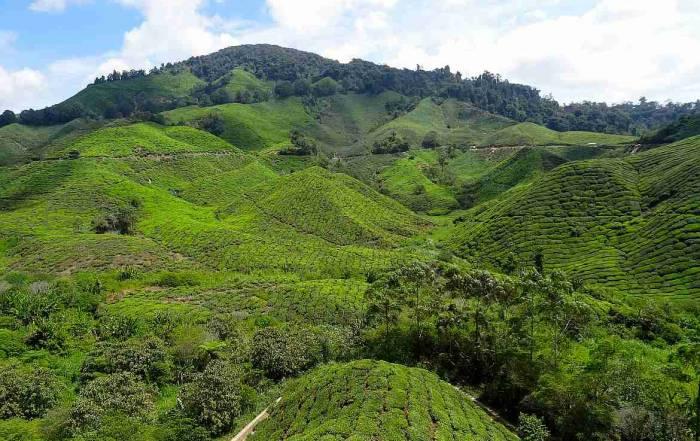 Malaysia | Panoramablick über sattgrüne bergige Teeplantagen in den Cameron Highlands, die zu unseren Tipps und Highlights gehören