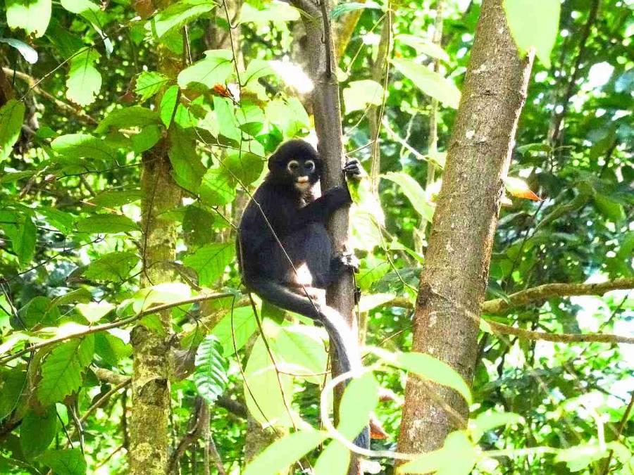 Malaysia | An einem Baumstamm zwischen Blättern hängender grauer Affe, der Brillenlangure auf den Perhentian Islands