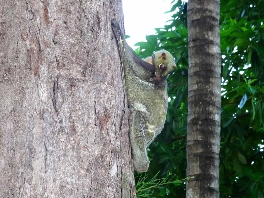 Malaysia | An einem Baumstamm hängender Gleitflieger auf Perhentian Besar