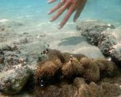 Malaysia | Unterwasseraufnahme von Nemo Fischen in ihrem Schwamm und Karins Hand beim Schnorcheln auf Perhentian Besar