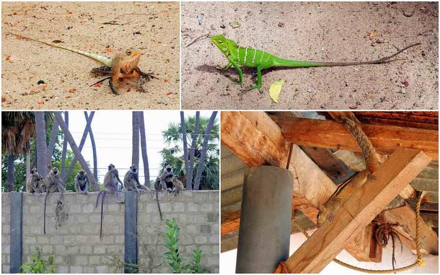 Sri Lanka | Eine Bildercollage bestehend aus zwei exotischen Geckos, einer Affenbande auf einer Mauer und einem Eichhörnchen