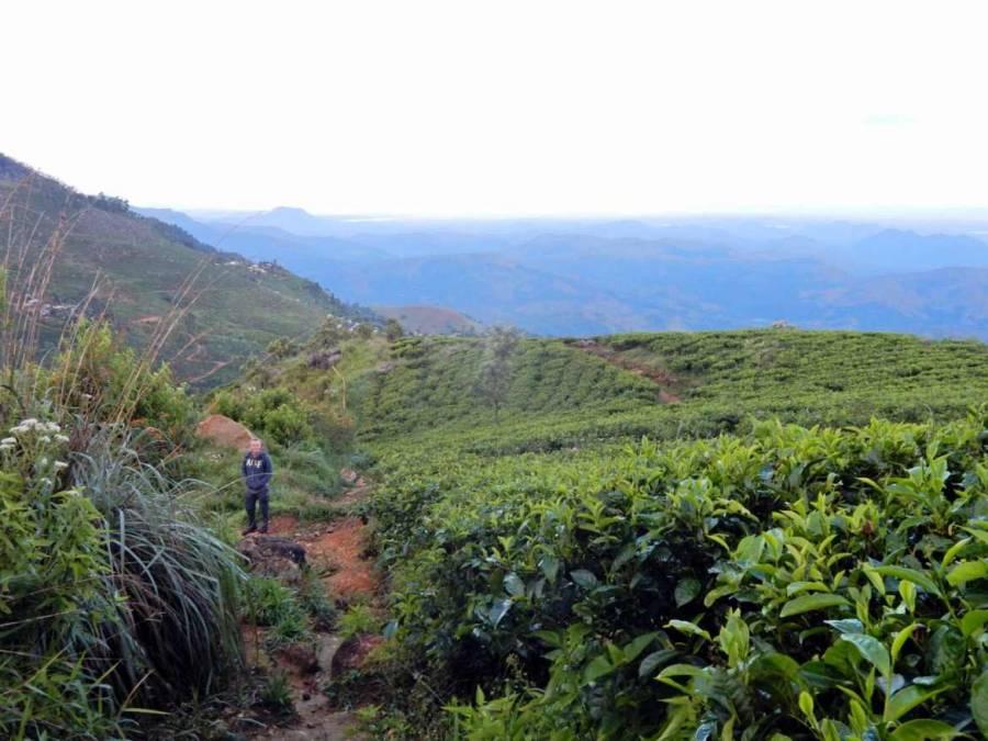 Sri Lanka   Henning steht inmitten eines Teefeldes auf einer Wanderung durch die Plantagen