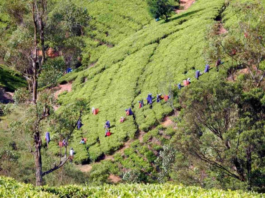 Sri Lanka | 20-30 Teepflücker holen im Hochland die Ernte auf einer Teeplantage ein