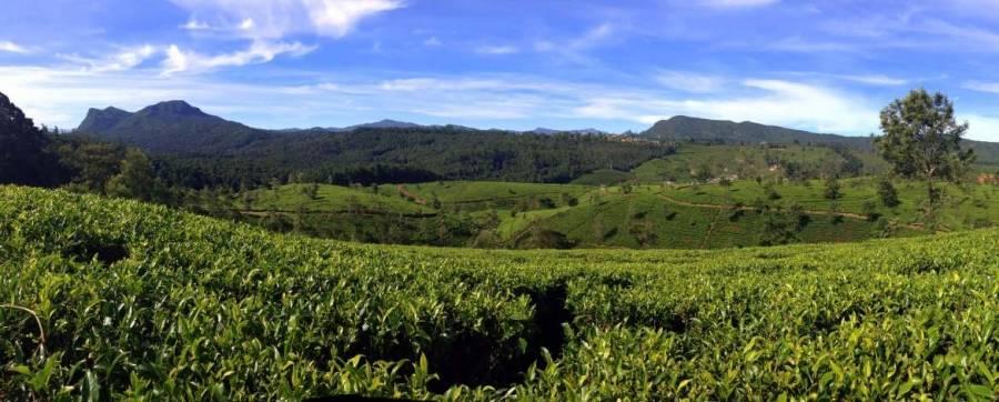Sri Lanka   Sri Lanka   Blick über die weiten, grünen Teeplantagen von denen u.a. der Lipton-Tee stammt