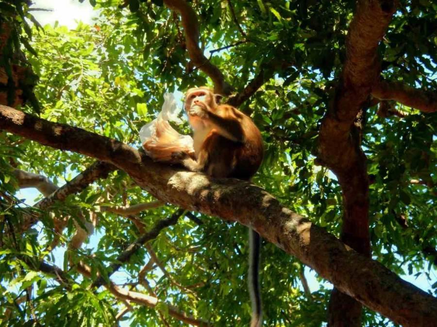 Sri Lanka | Affe auf einem Baum der im Yala Park das Mittagessen eines Touristen ergattert hat