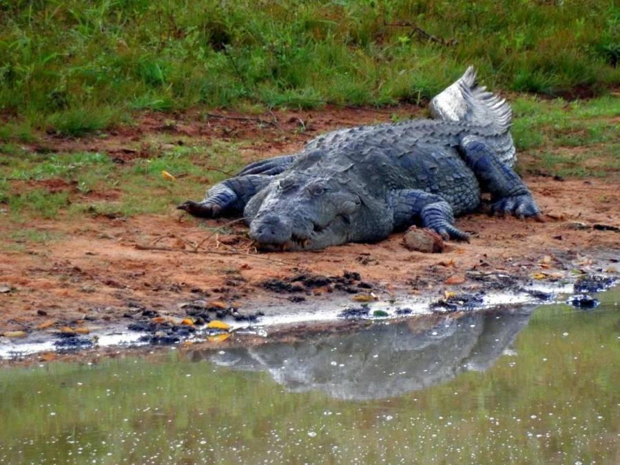 Sri Lanka | Krokodil in Lauerstellung im Yala Nationalpark