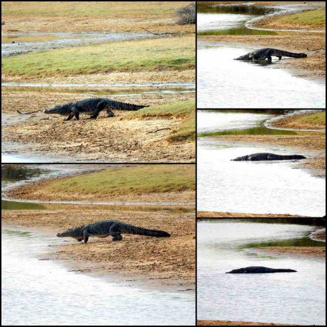 Bilderserie eines großen Krokodils im Yala Nationalpark