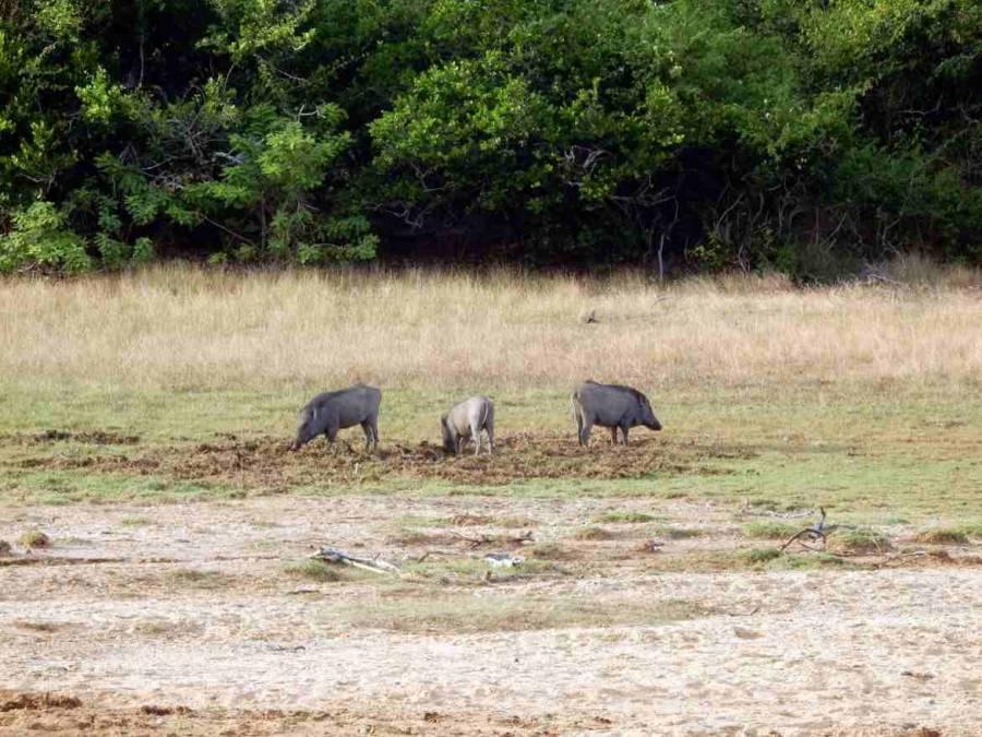 Sri Lanka | Eine Gruppe von Wildschweinen im Yala Nationalpark