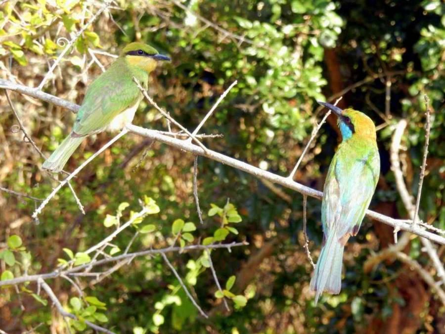 Nahaufnahme zweier bunter Vögel, die sich im im Yala Nationalpark in die Augen schauen