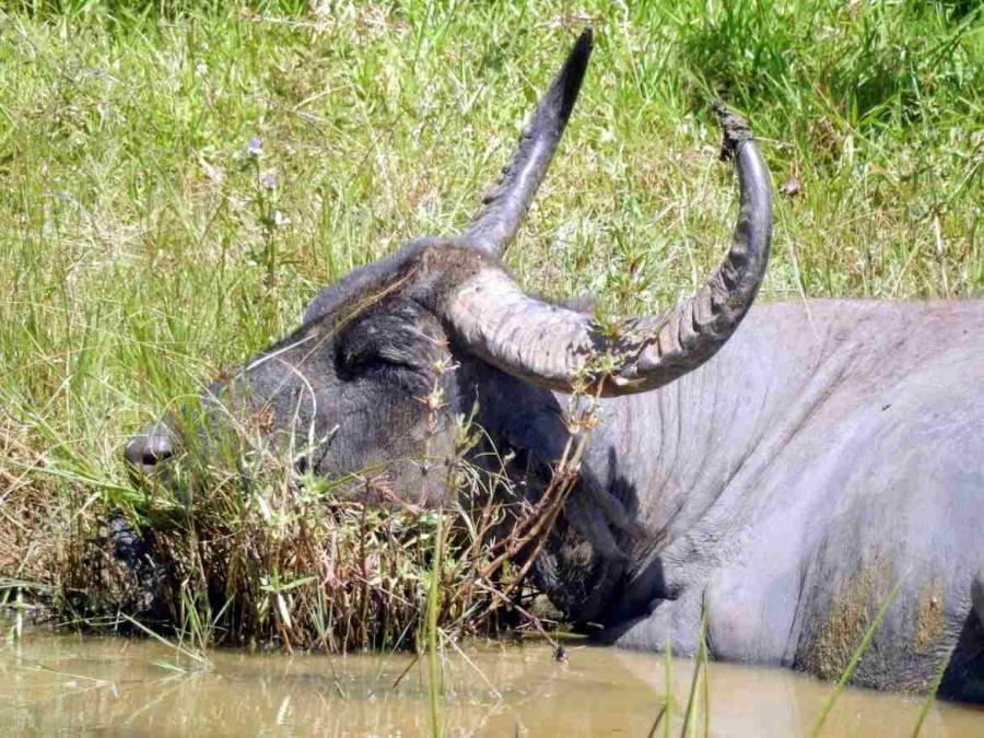 Sri Lanka | Mittagspause eines Wasserbüffels in einem Wasserloch im Yala Nationalpark