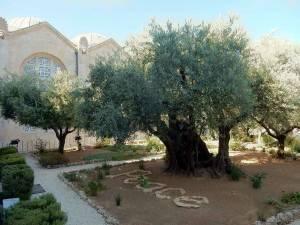 Jerusalem | Sehenswürdigkeiten: Garten Gethsemane mit Olivenbäumen vor der Kirche der Nationen