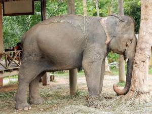 Laos | Das Leben ist auch als Elefant manchmal anstrengend. Elefant lehnt mit seinem Rüssel an einem Baum
