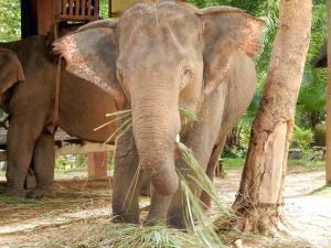 Laos | Elefant beim Fressen in Nahaufnahme im Elephant Village