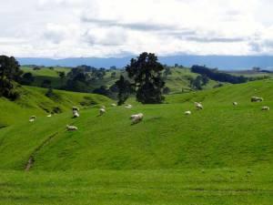 Highlights: Überall in Neuseeland, Schafe auf sattgrünen bergigen Wiesen