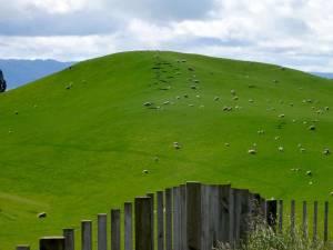 Highlights auf der Nordinsel, Typisches Bild in Neuseeland: Sattgrüne Hügel mit unzähligen Schafen