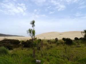 Neuseeland | Nordinsel, Sanddünen inmitten von grünem Urwald im Te Paki Stream, Hoher Norden. Palmen und grünes Gras vor gelben Sandbergen bei blau verschleiertem Himmel