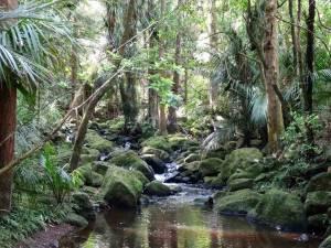 Neuseeland | Nordinsel, Eindrücke des Whangarei Falls Walk bei Whangarei im hohen Norden. Blick auf einen Fluss, moosbewachsene Steine und den sattgrünen Urwald