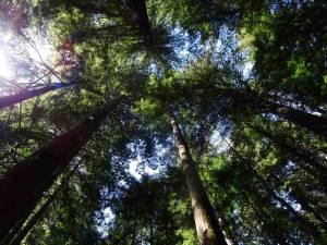 Nordinsel, The Redwoods im Whakarewarewa Forest in Rotorua. Blick auf meterhohe Bäume von unten