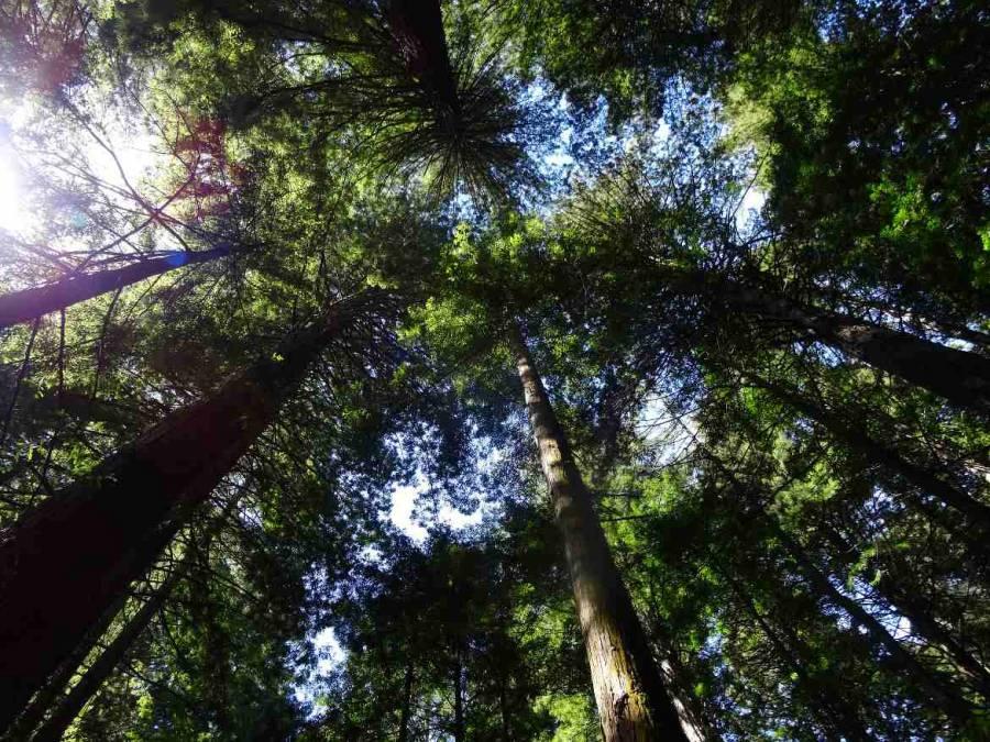 Neuseeland | Nordinsel, The Redwoods im Whakarewarewa Forest in Rotorua. Blick auf meterhohe Bäume von unten