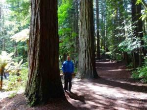 Neuseeland | Nordinsel, The Redwoods Whakarewarewa Forest in Rotorua . Henning steht neben einem der riesigen Bäume in blauer Softshell-Jacke