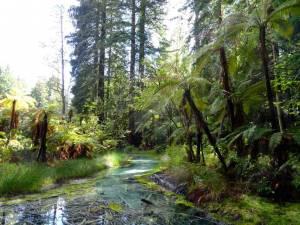 Neuseeland | Nordinsel, Schwefelquelle beim The Redwoods Whakarewarewa Forest Trail in Rotorua. Blick auf ein türkisfarbenes kristallklares Wasser mit verschiedene grünen Farnen und Pflanzen umgeben bei Sonnenschein