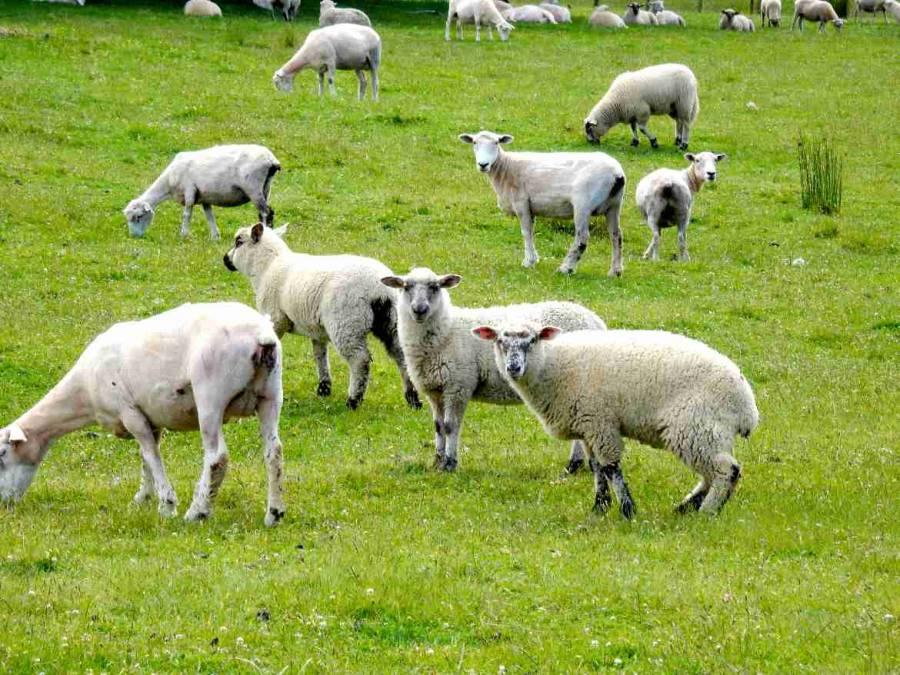 """""""Määäääääääh"""", blöken könne sie, die neuseeländischen Schafe. Zahlreiche weiße teilweise geschorene Schafe mit Blick in die Kamera"""