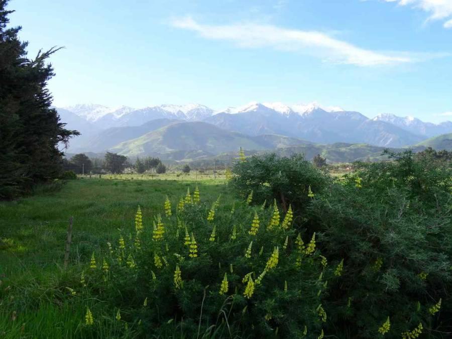 Neuseeland | Südinsel, Panorama des Meatworks Campingplatz in Kaikoura auf schneebedeckte Berge über grüne Wiesen und gelbe Blüten