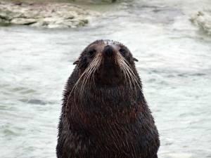 Neuseeland | Südinsel, Mein Name ist Emil aus Kaikoura. Nahaufnahme einer Robbe mit Schnurrbart, die stolz ihren Kopf erhebt