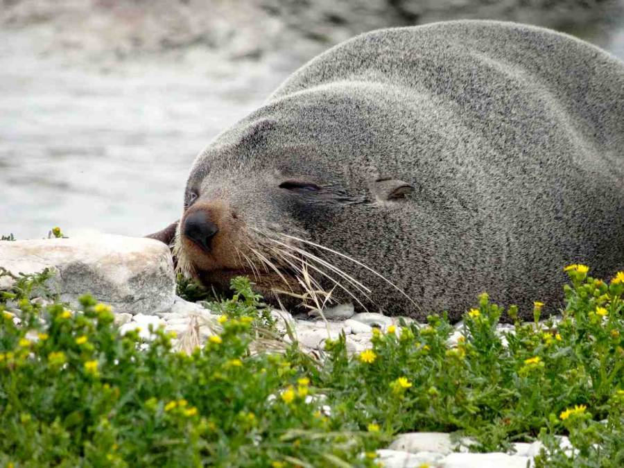 Neuseeland | Südinsel, schlafende Robbe in Kaikoura, Nahaufnahme