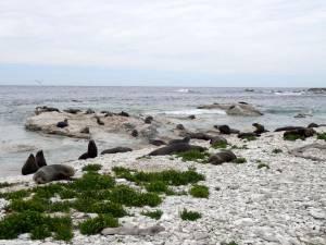 Neuseeland | Südinsel, Robbenkolonie in Kaikoura. Zahlreiche Robben liegen am steinigen Strand mit blick auf das Meer