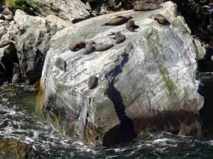 Neuseeland | Südinsel, Seehunde die auf einem Felsen liegen aus Sicht der Fähre bei unserer Milford Sound Cruise