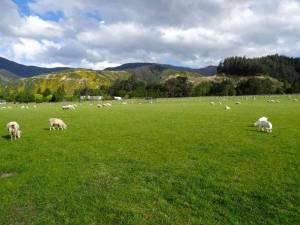 Neuseeland | Südinsel, Ausblick von den Camping-Stellplätzen des Collin Memorial Reserve in Picton auf grüne Wiesen mit Scahfen und gelb blühenden Bergen