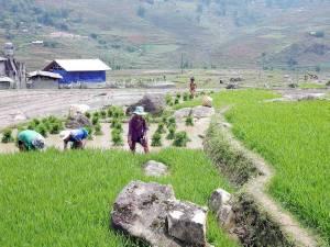 Vietnam | Norden, Arbeit im Reisfeld im Muong Hoa Valley. Frauen und Männer bearbeiten ihre Reispflänzchen