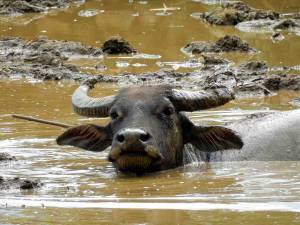 Vietnam | Norden, Büffel von Sa Pa. Nahaufnahme eines Büffels im Wasserloch