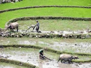 Vietnam | Norden, Arbeit in den Reisfeldern bei Sa Pa. Zwei Männer und deren Büffel, die die Felder pflügen