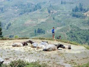 Vietnam | Norden, Eindrücke auf dem Weg von Lao Cai nach Sa Pa. Inmitten von Reisterrassen liegen Büffel im Wasser einer Reisterrasse mit 2 Kindern im Hintergrund und Blick auf die gegenüberliegenden Reisterrassen