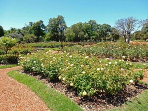 Buenos Aires | interessante Orte: Viele Rosenbeete im Paseo Rosedal von Palermo