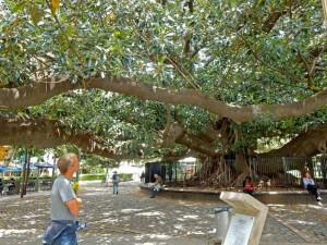 Buenos Aires | Sehenswürdigkeiten: Der Gran Gomero von Recoleta ist ein imposanter Gummibaum inmitten der Stadt