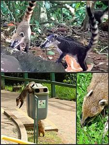 Brasilien | Die Nasenbären im Parque Nacional Iguacu sind lustig, können aber recht aggressiv werden