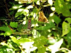 Argentinien | Hungrige Spinne bearbeitet Beute im Parque Nacional Iguazu