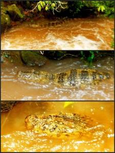 Argentinien | Es gibt zahlreiche Kaimane im Wasser des Parque Nacional Iguazu