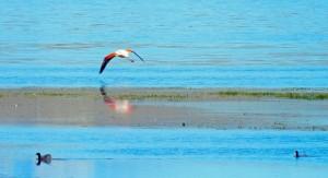 Argentinien | Patagonien, startender Flamingo am Lago Argentino in El Calafate