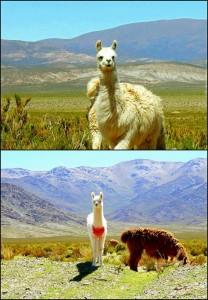 Argentinien | Alpacas in der Provinz Salta. Collage mit verschiedene Alpacas